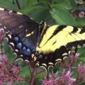 tiger_swallowtail_gynandromorp_richard_cu