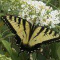 tiger_swallowtail_max