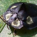 tortoise_beetle_brazil