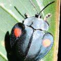 tortoise_beetle_costa_rica_miles