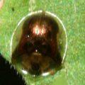 tortoise_beetle_don