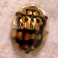 tortoise_beetle_julie