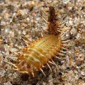 tortoise_beetle_larva_mozambique_gawle