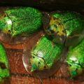 tortoise_beetle_nicaragua