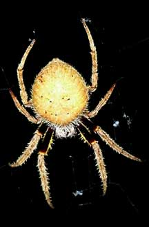 Florida Tow Show >> Tropical Orb Weaver from Florida - What's That Bug?