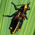 toxic_milkweed_grasshopper_south_africa_deryck