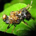transvestite_rove_beetle_costa_rica_laurence