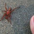 trapdoor_spider_toe_robin