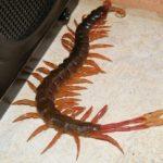 tropical_centipede_kenya_tinsman
