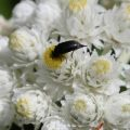 tumbling_flower_beetle_canada_pattie
