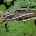 two_striped_grasshopper_ernie