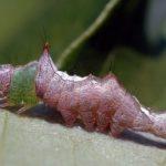unicorn_caterpillar_bert