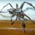 unidentified_spider_australia_iwi