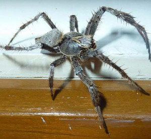 Unknown Spider From Australia Looks Like Male Garden Orbweaver Spider What 39 S That Bug