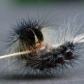 unknown_caterpillar_canada_michelle