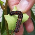 unknown_caterpillar_florida_eric