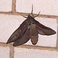 unknown_moth_2_australia_ken