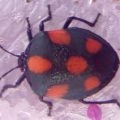unknown_stink_bug_costa_rica