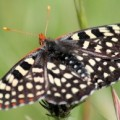 variable_checkerspot_california_andie
