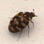 varied_carpet_beetle_missouri