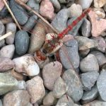 variegated_meadowhawk_anna