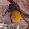 velvet_ant_magnifica_arizona