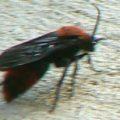 velvet_ant_male_david