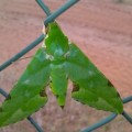 verdant_hawkmoth_angola_lucas
