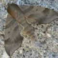 virginia_creeper_sphinx_chris