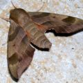 virginia_creeper_sphinx_d
