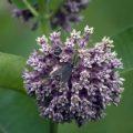 virginia_ctenucha_japanese_beetle_milkweed_steve