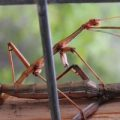 walkingsticks_mating_dave