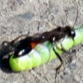 wasp_caterpillar_czech