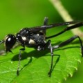 wasp_eremnophila_aureonotata