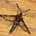 wasp_moth_carmenta_jody