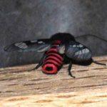 wasp_moth_costa_rica_michael