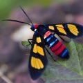 wasp_moth_india