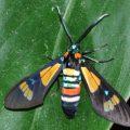 wasp_moth_senegal_lynne