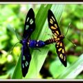wasp_moths_mating_philippines_alta