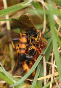 Unknown Wasp In Washington State Is Ichneumon Species