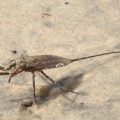 water_scorpion_gambia