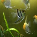 web_pp_marlos_daniel_0025_angelfish_2