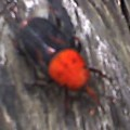 weevil_orange_thorax_thailand