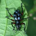weevil_philippines_september