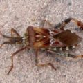 western_conifer_bug_michele