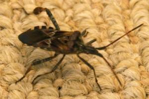 Western Conifer Seed Bug Appreciates Fine Art Rugs What