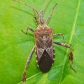 western_conifer_seed_bug_linda