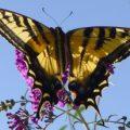 western_tiger_swallowtail_katherine
