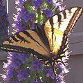 western_tiger_swallowtail_redfive