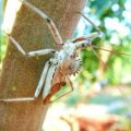 wheel_bug_florida